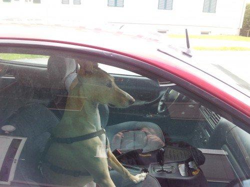 Auto: Hund sitzt am Beifahrersitz