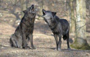 Heulende Wölfe, Foto: Walter Vorbeck