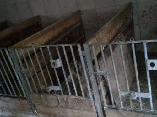 Hündinnen und Welpen sind in diesen dunklen und kleinen Kälberboxen eingesperrt. Foto: © VGT