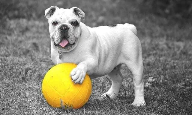 Bulldogge mit Ball spielen hunde regeln
