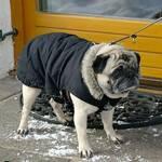 Mops mit Mantel - Winter