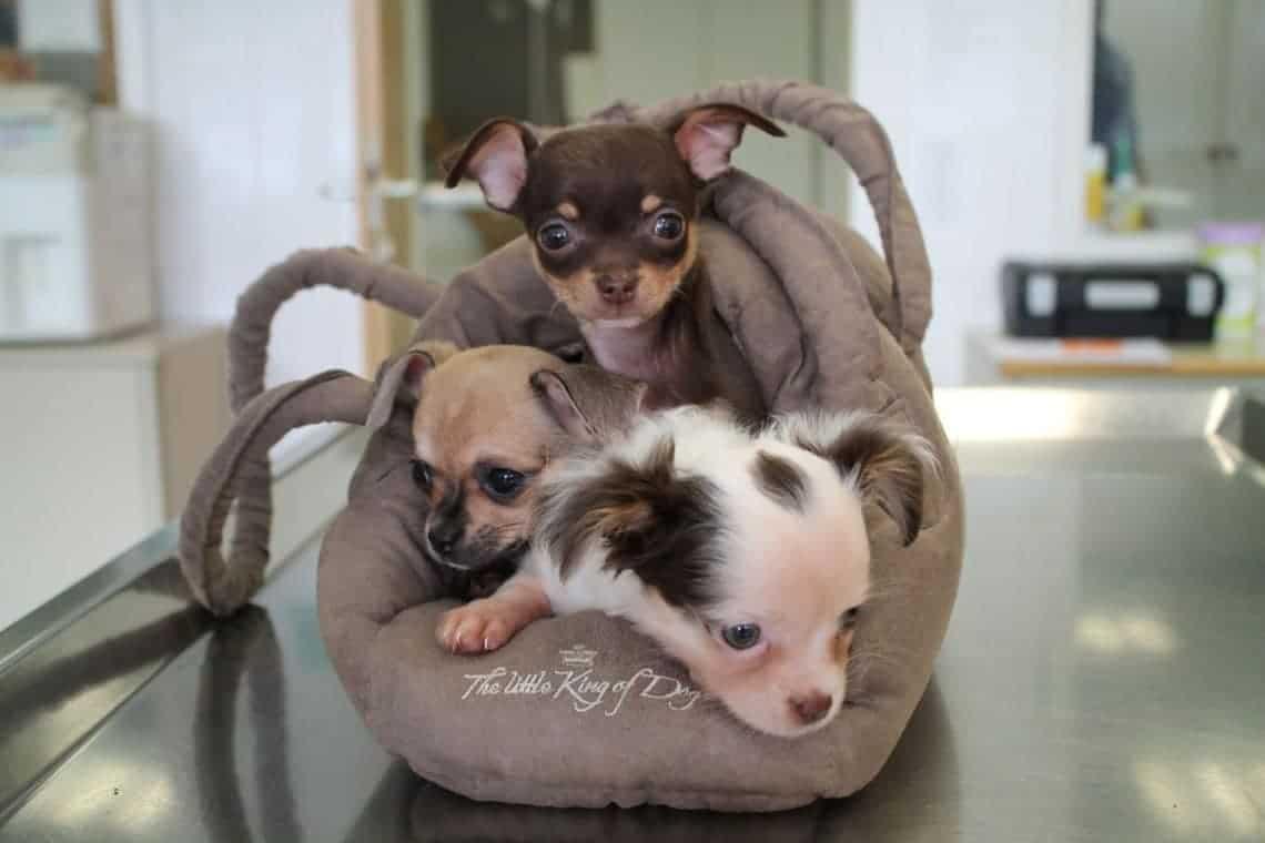 Chihuahua - Mädchen Bounty, Mars und Twix