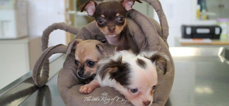 Drei Chihuahua Madchen An Haltestelle Ausgesetzt Die Hundezeitung