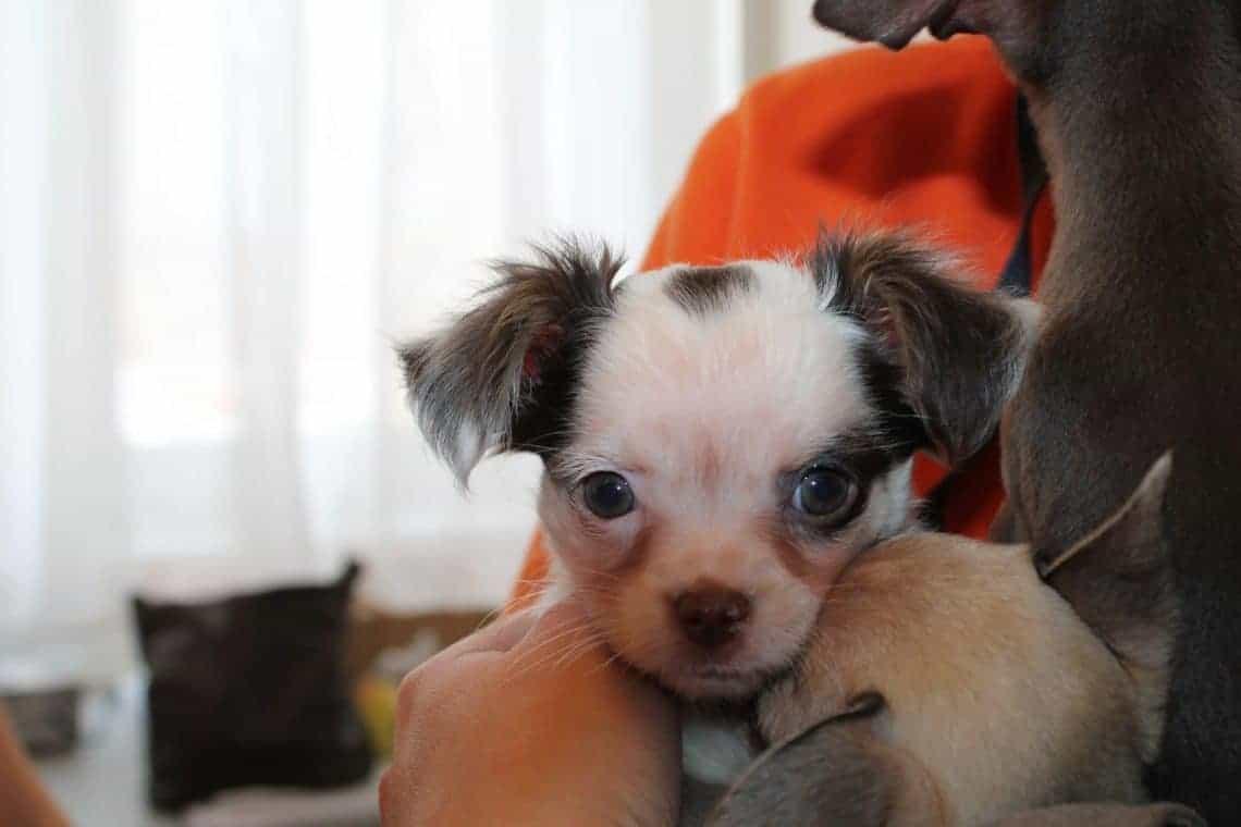 Eines der Chihuahua - Mädchen