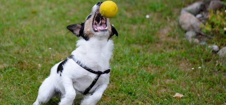 Hund fängt einen Ball