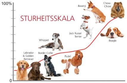 die stursten hunderassen der welt chow chow basenji jack russel terrier beagle whippet pudel boder collie labrador golden retriever