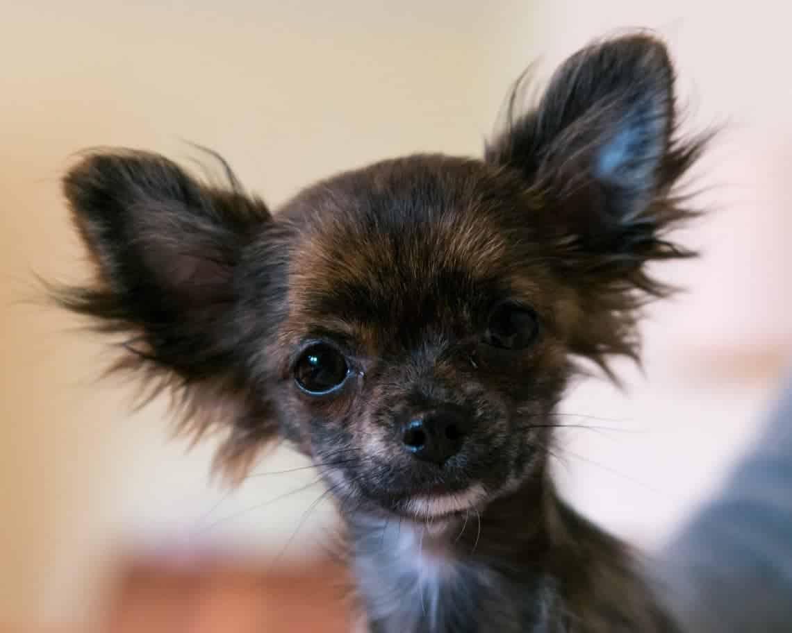 Toy Teacup Dog Breeds