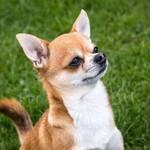 Kurzhaariger Chihuahua, zweifarbig