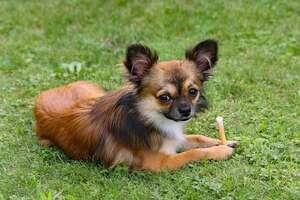 Chihuahua mit Leckerli