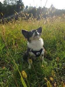 Brustgeschirr Chihuahua Kira