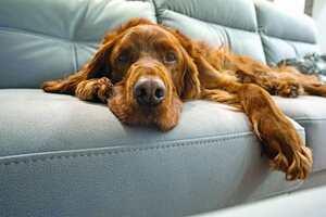 Irish Setter auf Couch