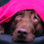 Labrador unter der Decke Silvester Böller WTV Angst Stress