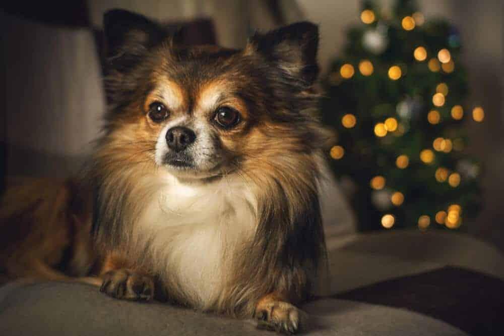 langhaariger chihuahua mit dunklem fell und weißer brust sitzt auf dem sofa, im hintergrund leuchtet eine lichterkette