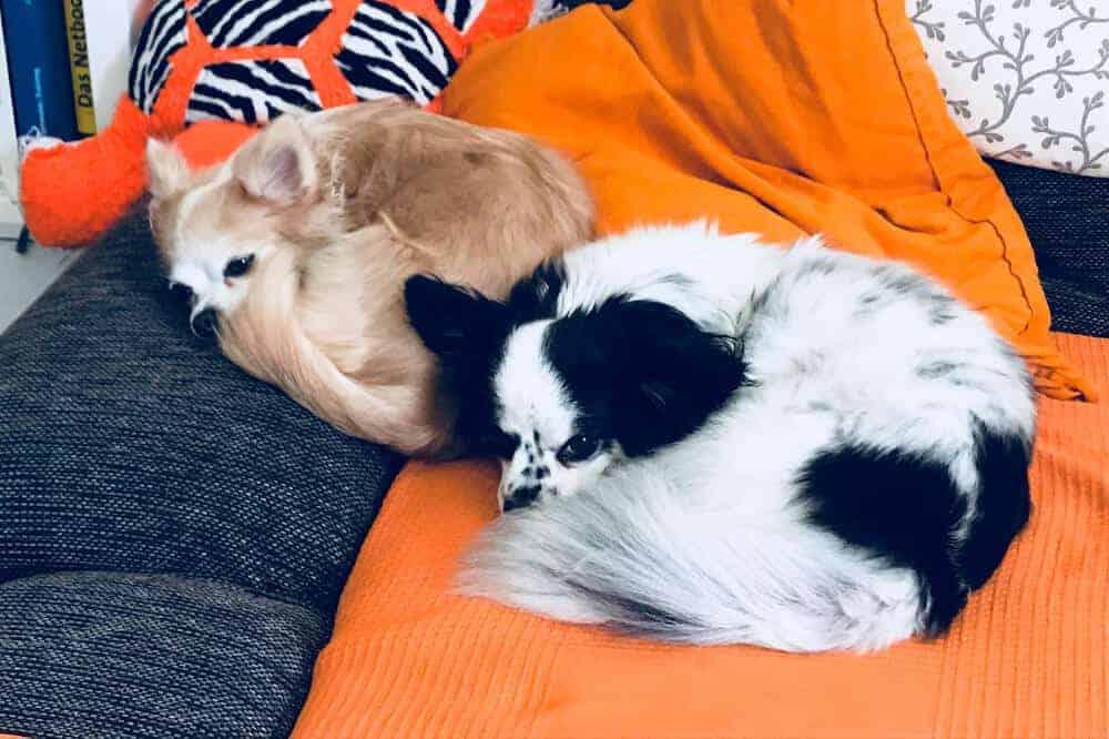 zwei langhaar chihuahua in creme und schwarz weiß liegen nebeneinander auf einem sofa