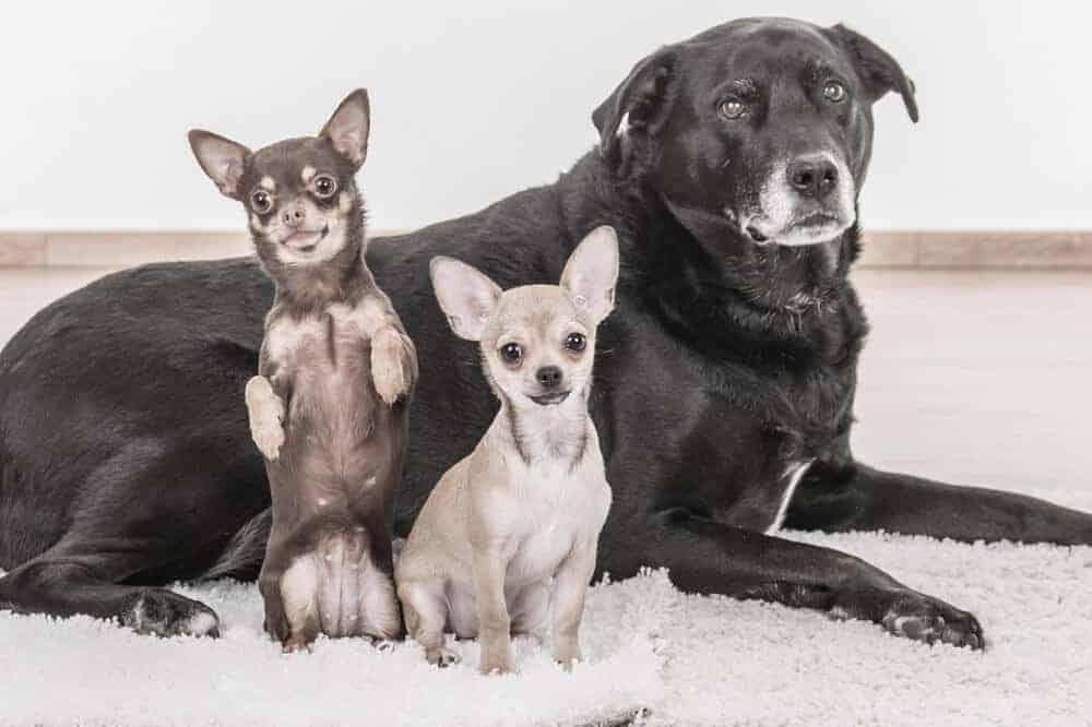 zwei chihuahuas in weiß und tricolor sitzen vor einem großen schwarzen hund, der gelassen in die kamera blickt