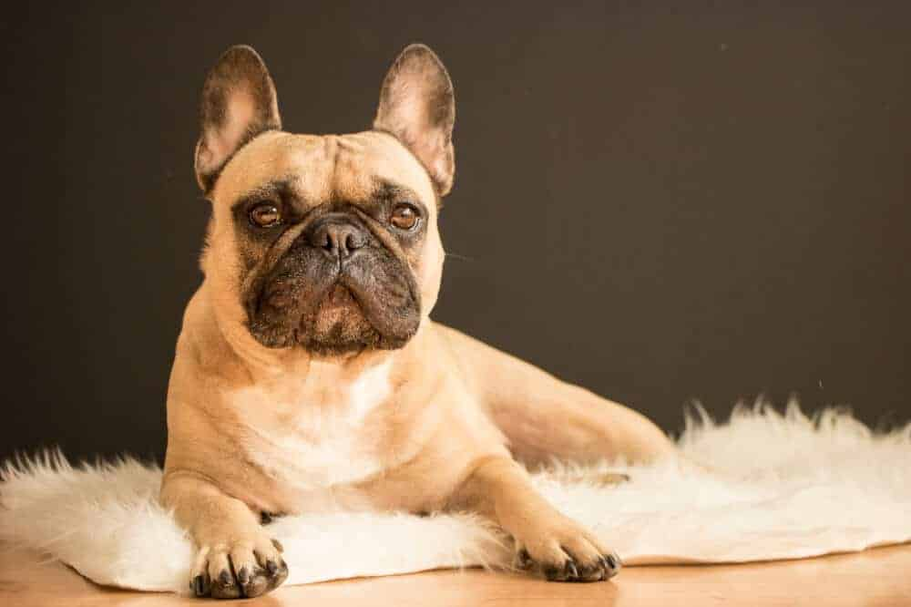 Französische Bulldogge Hunderasse Aussehen Charakter