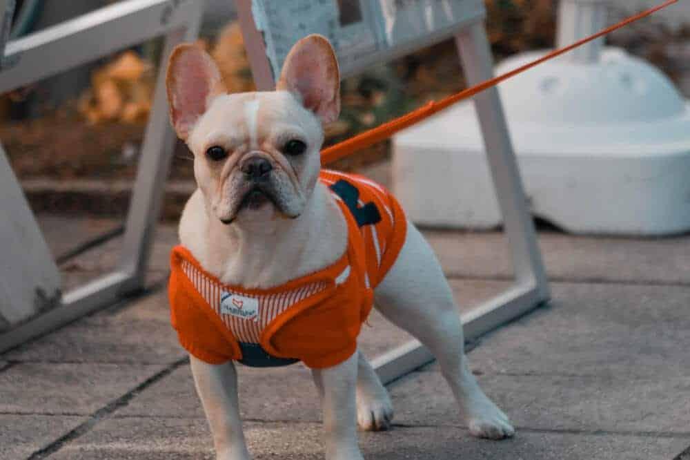 franzoesische bulldoggen hunde rasse french bulldog weiss aussehen charakter