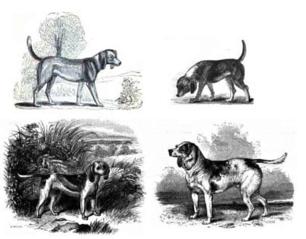 Anecdotes of Dogs By Edward Jesse mid 19th century beagle hunderasse geschichte historisch