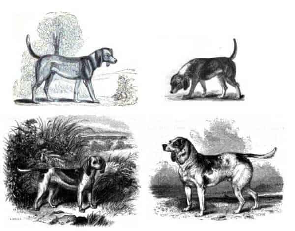Anecdotes of Dogs By Edward Jesse mid 19th century beagle hunderasse geschichte historisch
