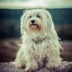 Havaneser Hund Rasse Aussehen BeschreibungLanghaar sitzend