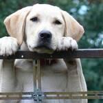 Labrador Retriever gelb, Zaun