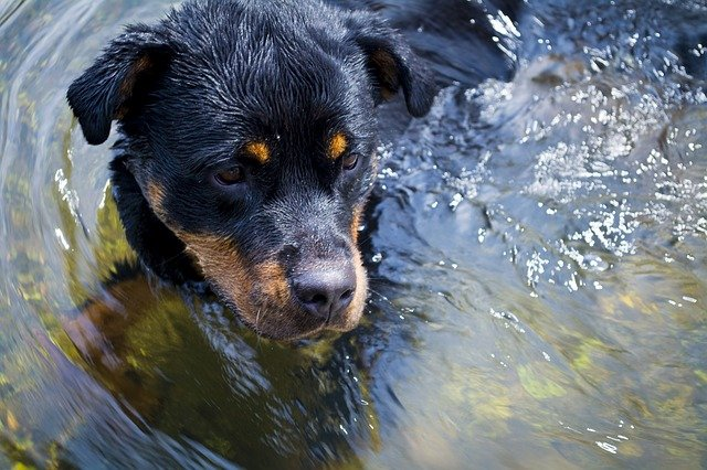 Rottweiler im Wasser Hunderasse Aussehen Charakter Beschreibung Wesen Listenhunde Porträt Hund