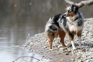 Australian Shepherd Hunderassen Quiz