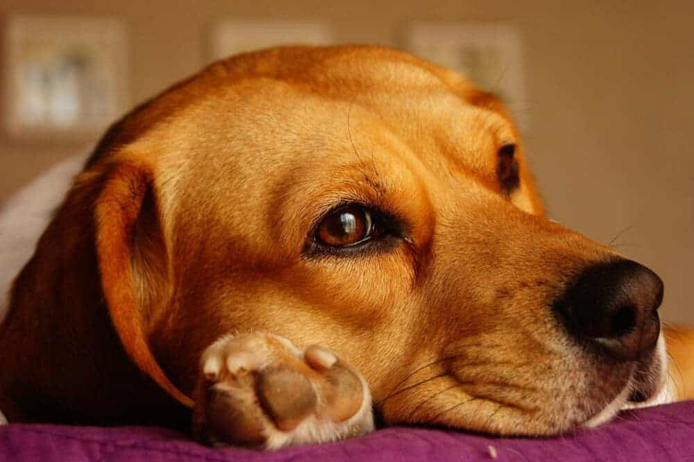 beagle hund rasse beschreibung liegend kopf hunderasse fci 161