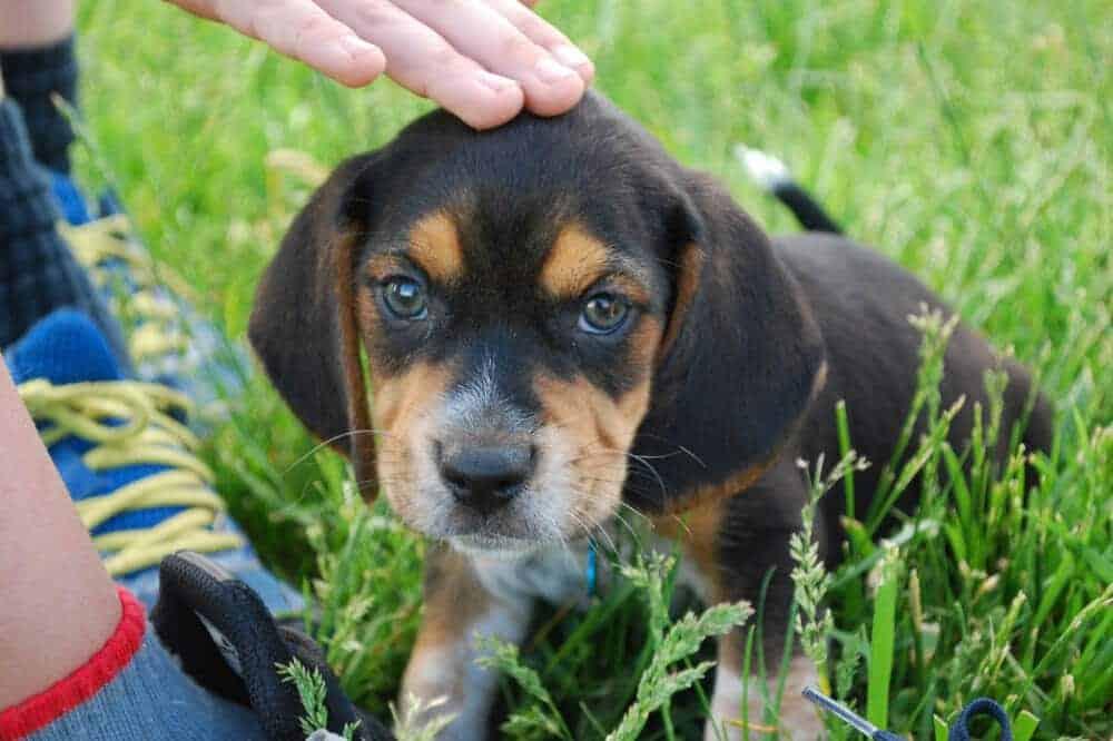 beagle hund rasse welpe baby hunderasse junghund beschreibung aussehen