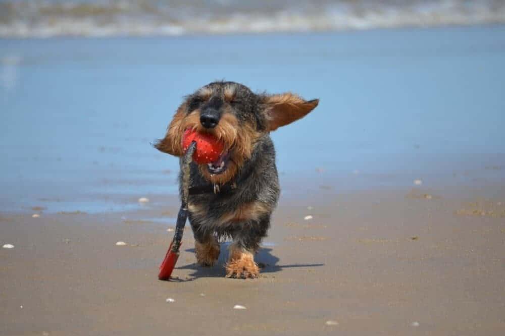 dackel dachshund teckel kopf fell aussehen hund rasse beschreibung welpe junghund ball meer