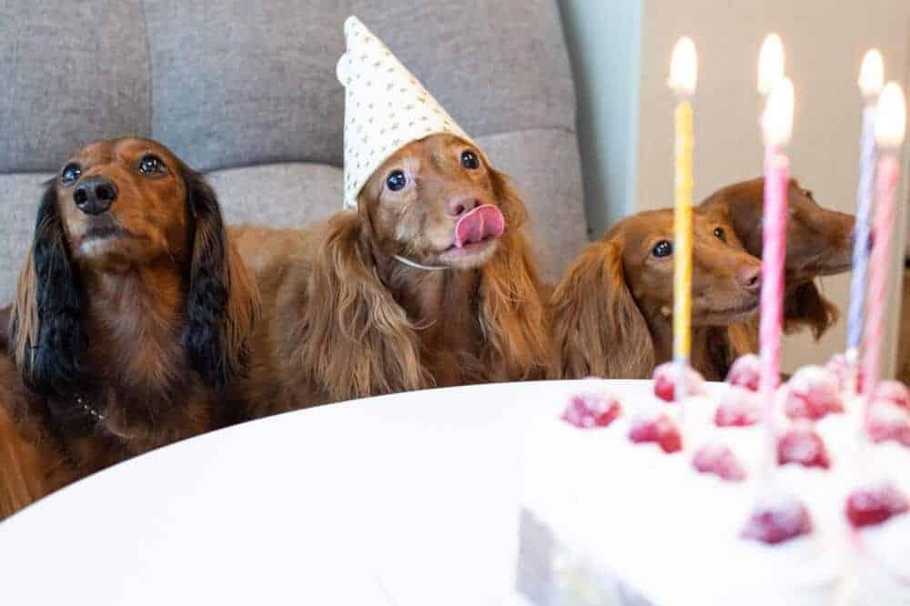 dackel dachshund teckel kopf gebiss rauhaar fell aussehen hund rasse beschreibung geburtstag