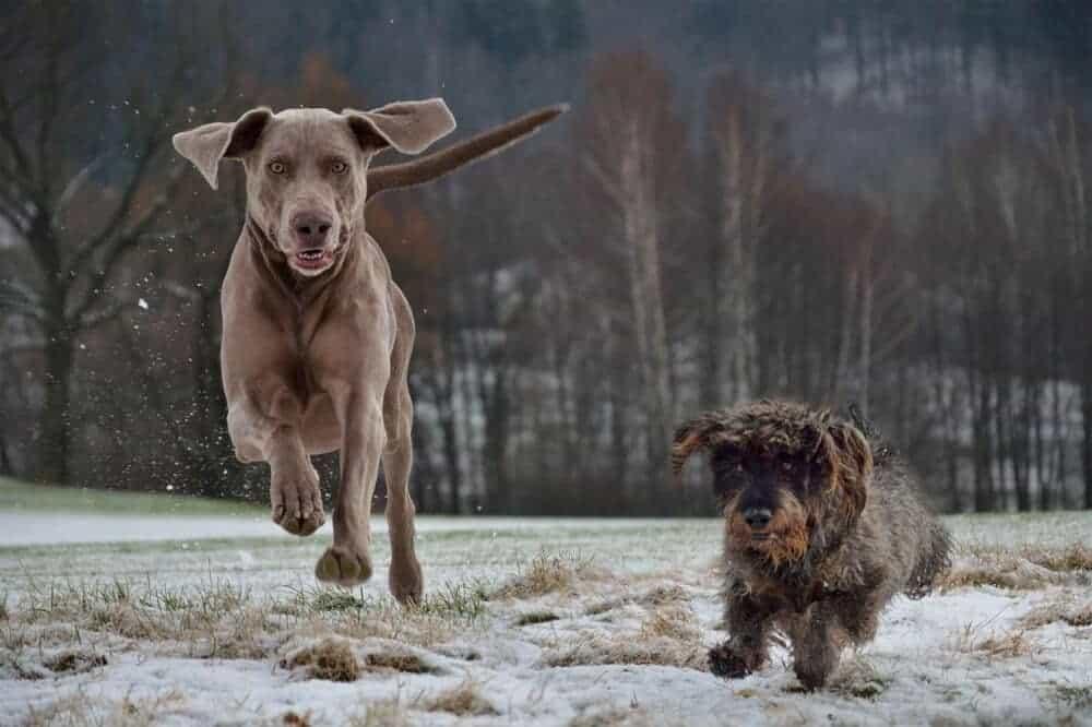 dackel dachshund teckel kopf gebiss rauhaar fell aussehen hund rasse beschreibung weimaraner