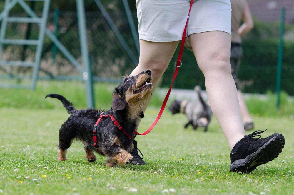 dackel dachshund teckel kopf rauhaar fell aussehen hund rasse beschreibung brustgeschirr erziehung leine