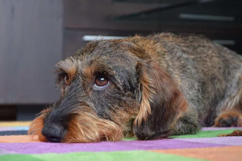 dackel dachshund teckel kopf rauhaar fell aussehen hund rasse beschreibung liegend