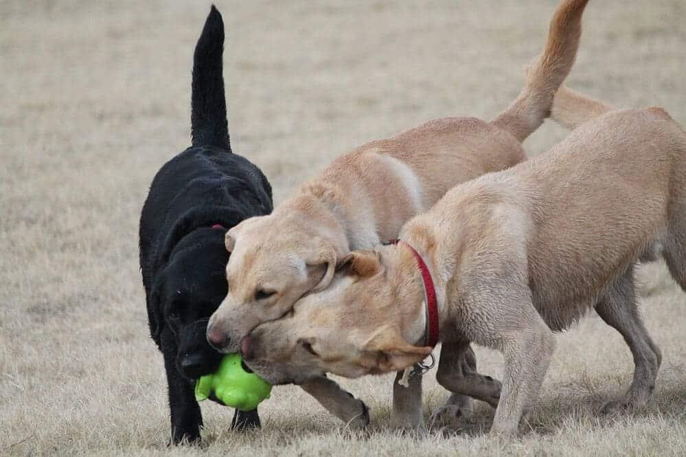 labrador retriever hund hunderasse fci spielen
