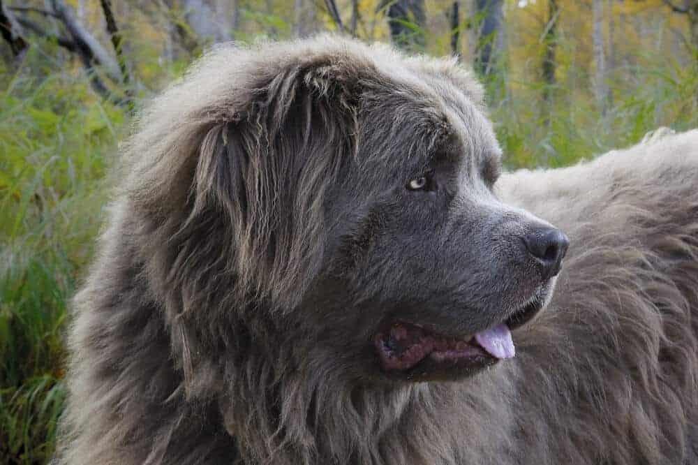 neufundländer newfoundland dog hund rasse beschreibung charakter aussehen