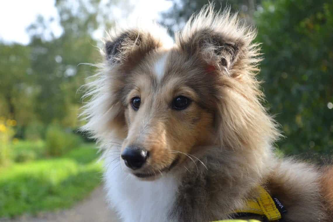 Die Hundesteuer ist in Graz vielleicht schon bald Geschichte. Foto: JACLOU-DL/pixabay
