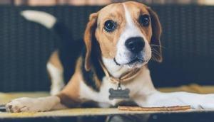 beagle Hunderassen Quiz