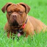 Hunderassen Bordeaux Dogge