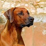 Hunderassen Rhodesian Ridgeback