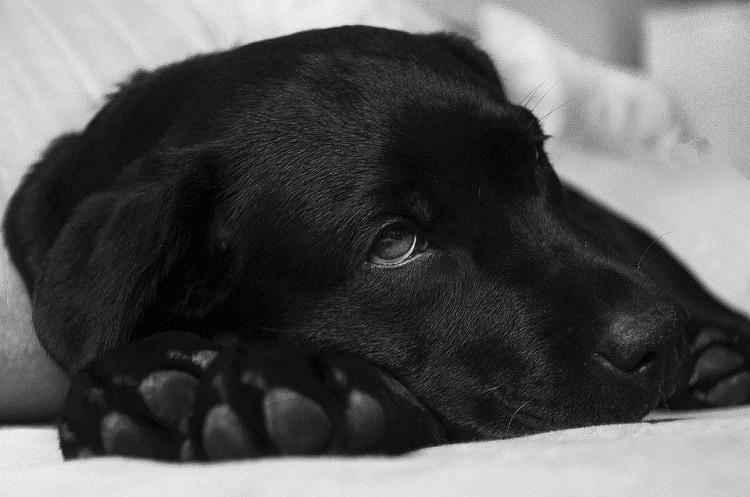 Hunde-Malaria durch Parasiten ausgelöst