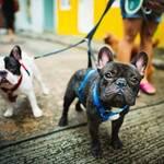 Dogsharing Französische Bulldoge © Pexels