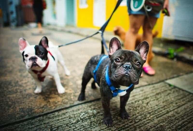 Dogsharing Französische Bulldogen
