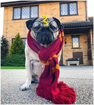 Doug The Pug Instagram Instadog