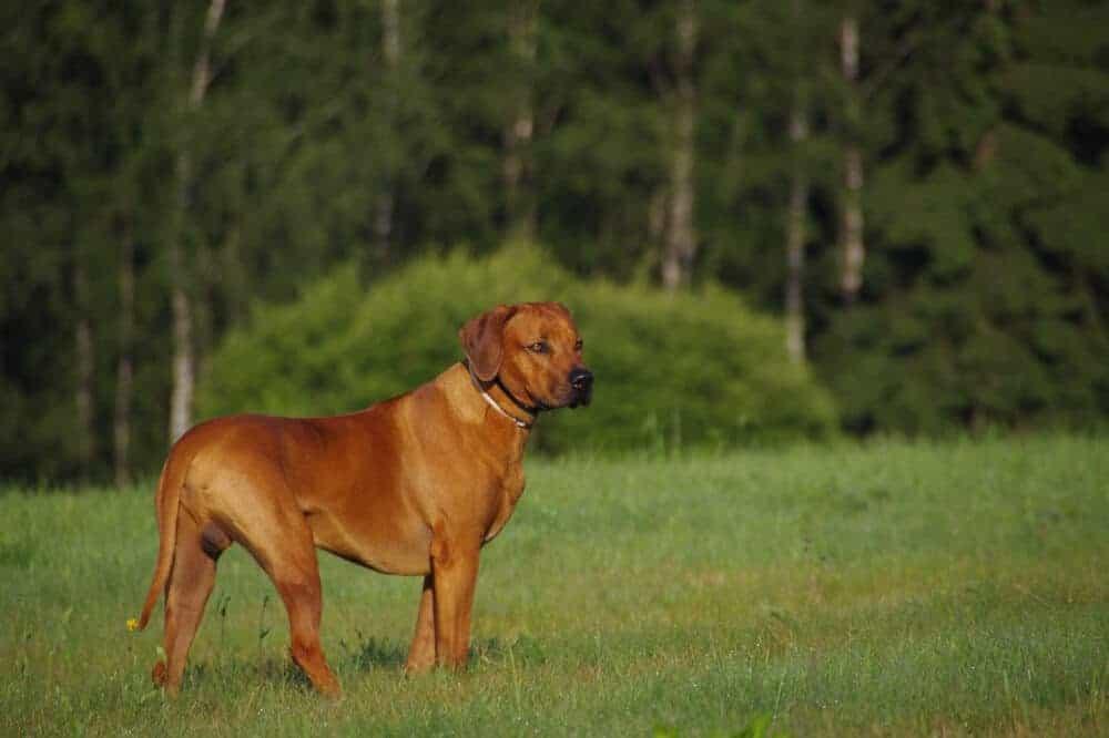 rhodesian ridgeback hund hunderasse rasse beschreibung aussehen jagdhund ruede