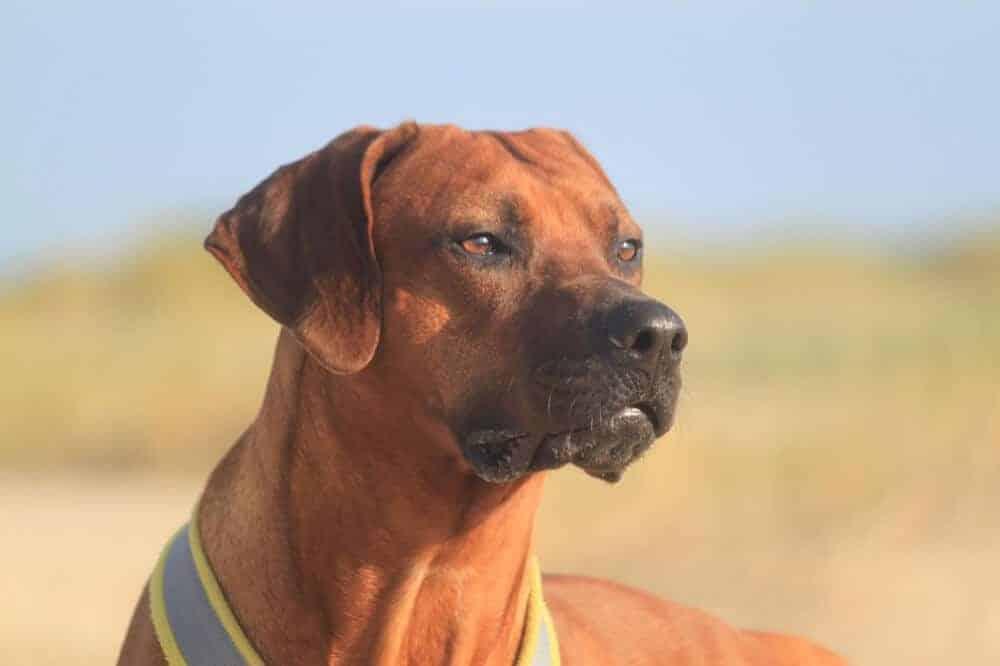 rhodesian ridgeback hund hunderasse rasse beschreibung aussehen kopf