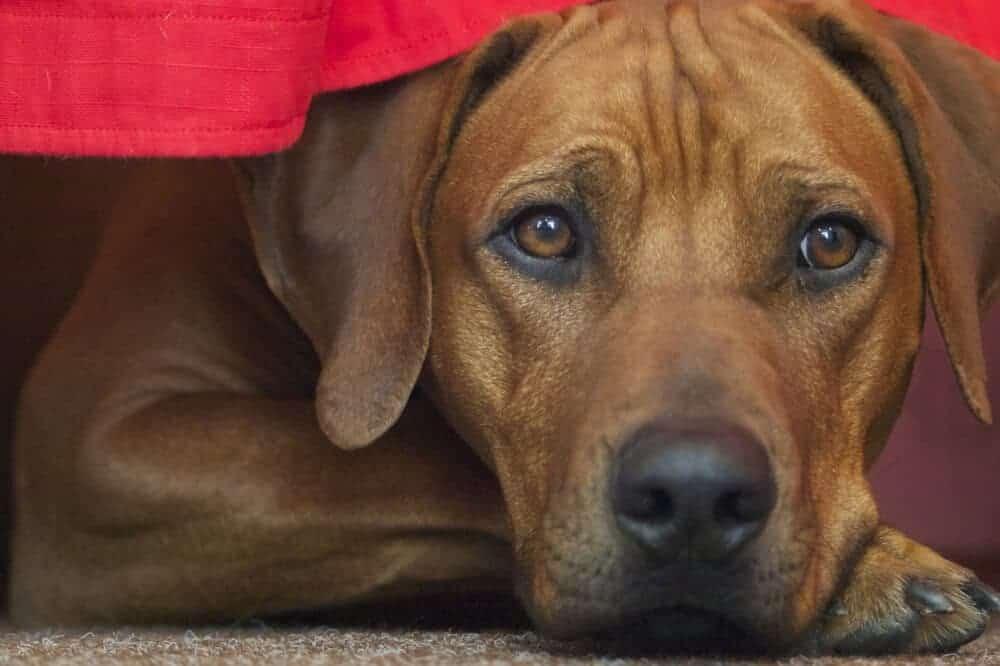 rhodesian ridgeback hund hunderasse rasse beschreibung aussehen liegend
