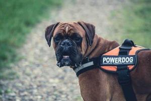 boxer hund rasse quiz wissen