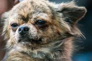 chihuahua-gestromt-kopf-pixabay.jpg