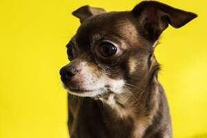 chihuahua-vor-gelbem-hintergrund-pixabay.jpg